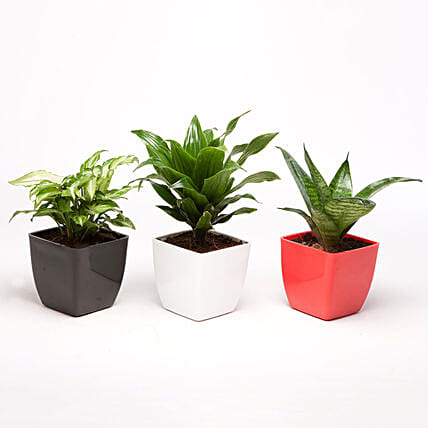 Set of 3 Green Plants in Plastic Pots: Succulents and Cactus Plants