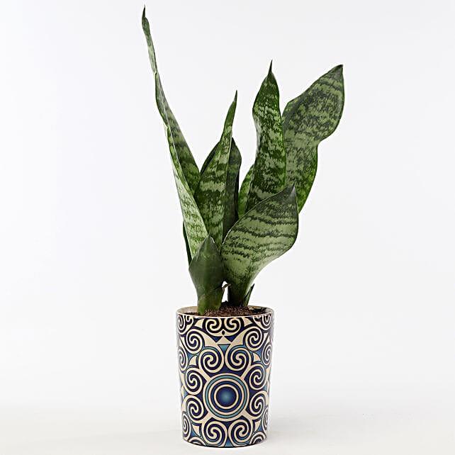 Snakeskin Sansevieria In Blue Ceramic Pot: Ornamental Plants