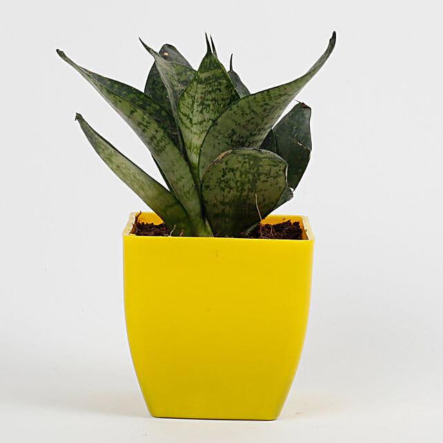 Snakeskin Sansevieria Plant in Imported Plastic Pot: Plants For Bathroom