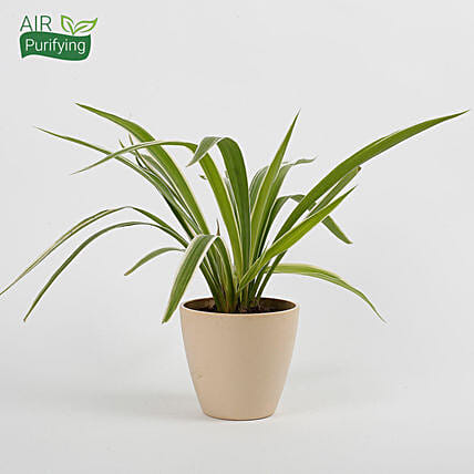 Spider Plant in Recycled Plastic Conical Pot: Air Purifying Plants