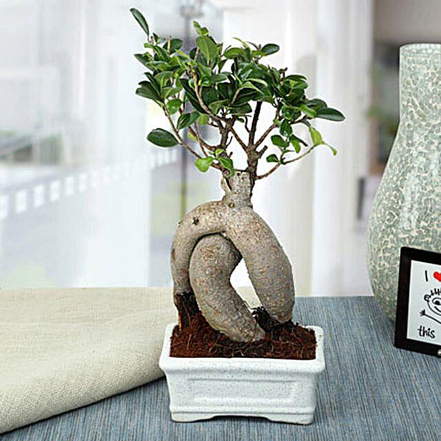 Splendid Ficus Ginseng Bonsai Plant: Pohela Boishakh Gifts