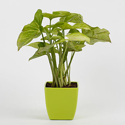Syngonium Green Plant in Imported Plastic Pot: Foliage Plants