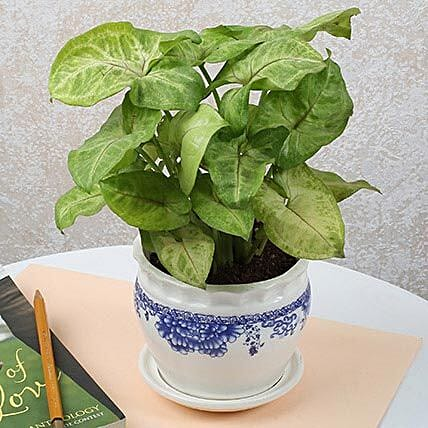Syngonium Plant In Ceramic Vase: Foliage Plants
