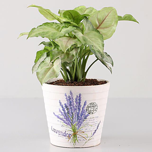 Syngonium Plant In Lavender Découpage Planter: Indoor Plants