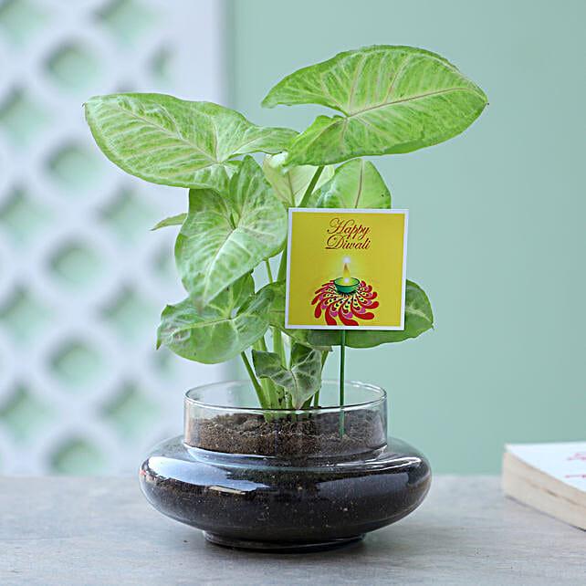 Syngonium Plant Terrarium For Diwali: Buy Indoor Plants