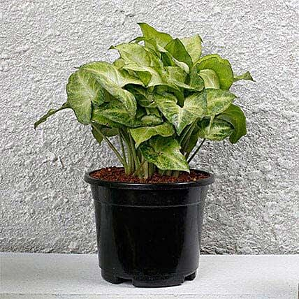 Syngonium White Plant In Black Pot: