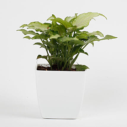 Syngonium White Plant in Imported Plastic Pot: Office Desk Plants