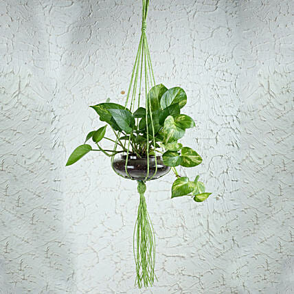 Thriving Money Plant Terrarium: