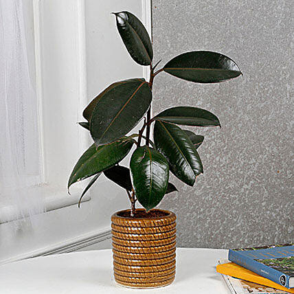 Air Purifying Rubber Plant: Air Purifying Plants