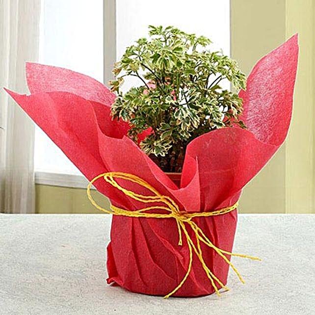 Amazing Aeralia Plant: