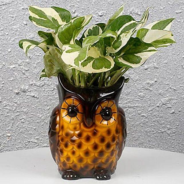 Decorative Owl White Pothos Plant: Office Desk Plants