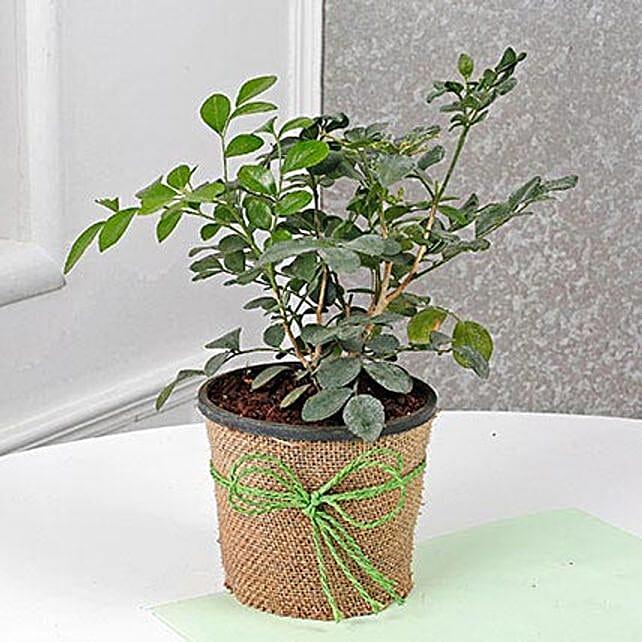 Evergreen Muraiya Exotica Dwarf Plant: Tropical Plants
