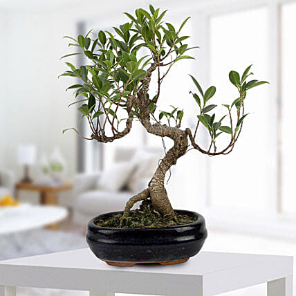 Gorgeous Ficus S shaped Plant: Congratulations Gifts