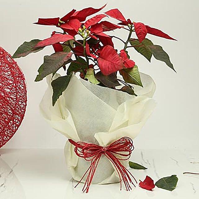 Gorgeous Poinsettia Plant: Christmas Tree