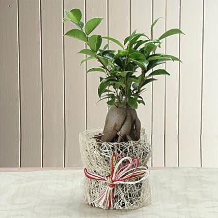 Potted Ficus Bonsai Plant: Bonsai Plants