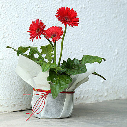 Potted Red Gerbera Plant: Ornamental Plant Gifts