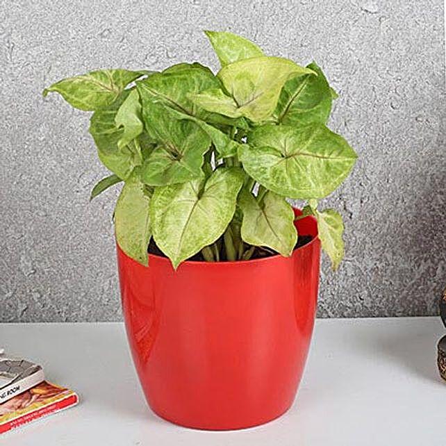 Refreshing Syngonium Plant In Red Pot: Desktop Plants