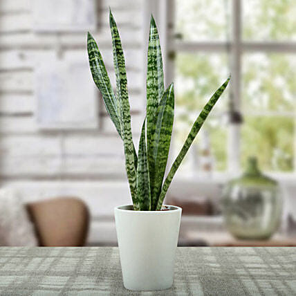 Sansevieria Air Purifying Plant: Succulents and Cactus Plants