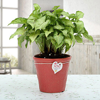 Syngonium Golden Plant: Gifts Delivery In Bagmugalia