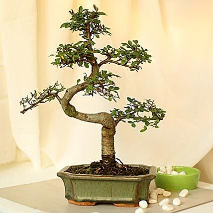 Thoughtful Elm S Shape Bonsai Plant: Rare Plants