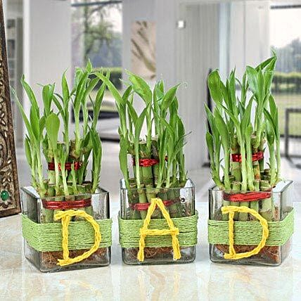 Three Lucky Bamboo Plants For Dad: Good Luck Plants