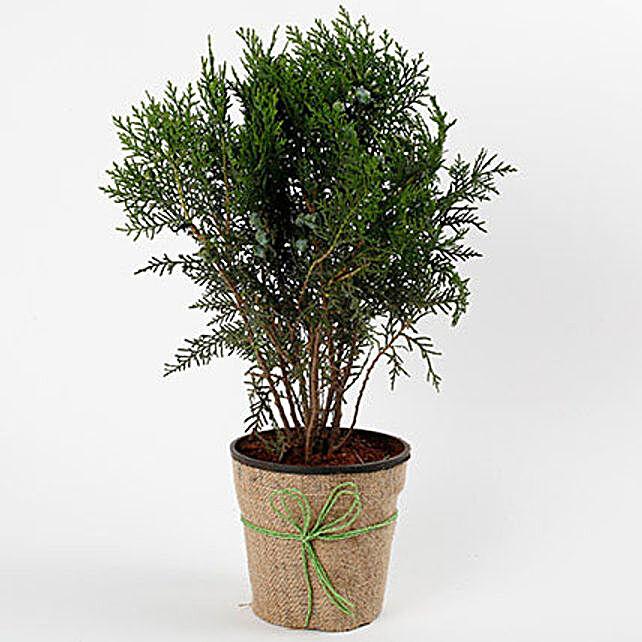 Unique Mor Pankh Dwarf Plant: Foliage Plants