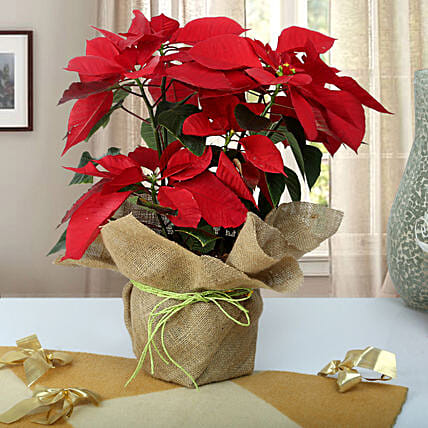 Beautiful Poinsettia Plant: Flowering Plants For Valentine's Day