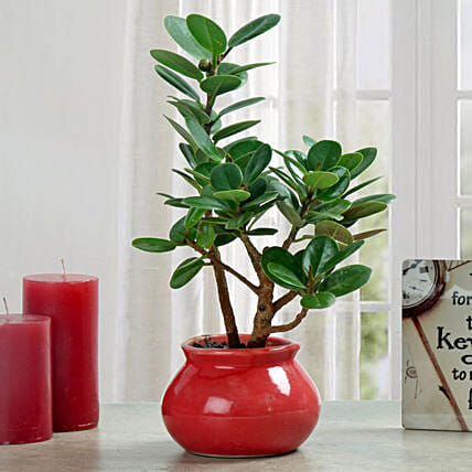 Green Ficus Dwarf Beauty Plant: Office Desk Plants