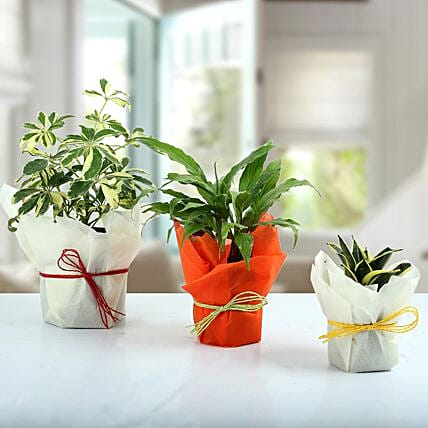 Set of 3 Evergreen Plants: Air Purifying Plants