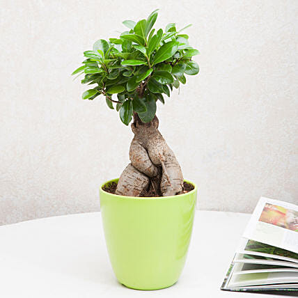 Exotic Ficus Ginseng Bonsai Plant: Gifts for Basant Panchami