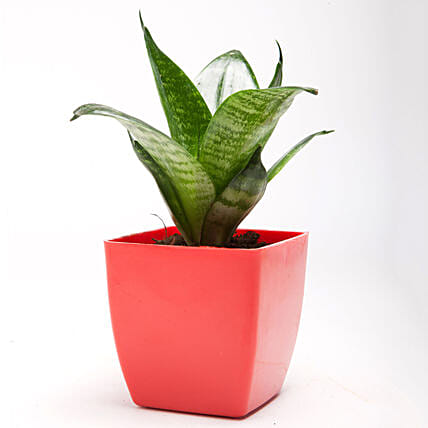 Green Sansevieria Plant in Red Plastic Pot: Succulents and Cactus Plants
