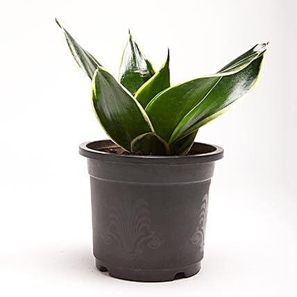 MILT Sansevieria Plant in Black Plastic Pot: Succulents and Cactus Plants