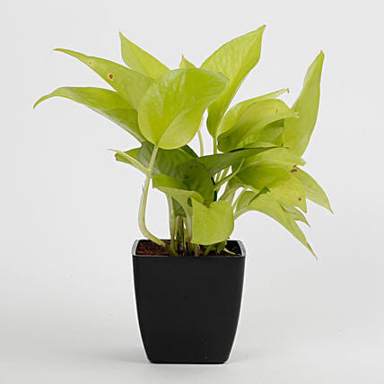 Golden Money Plant in Black Imported Plastic Pot: Send Good Luck Plants