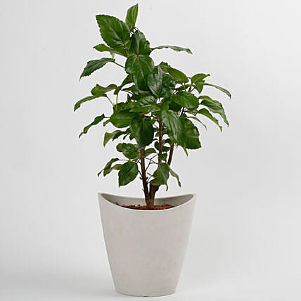 Hibiscus Plant in White Half Moon Recycled Plastic Pot: Exotic Plants