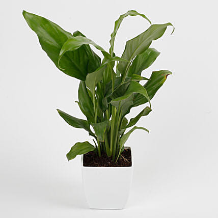 Peace Lily Plant in Imported Plastic Pot: Plants for Living Room