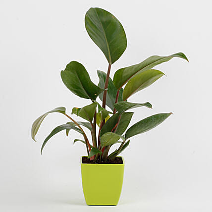 Philodendron Red Plant in Imported Plastic Pot: Good Luck Plants
