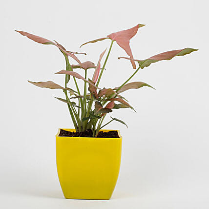 Syngonium Pink Plant in Imported Plastic Pot: Living Room Plants
