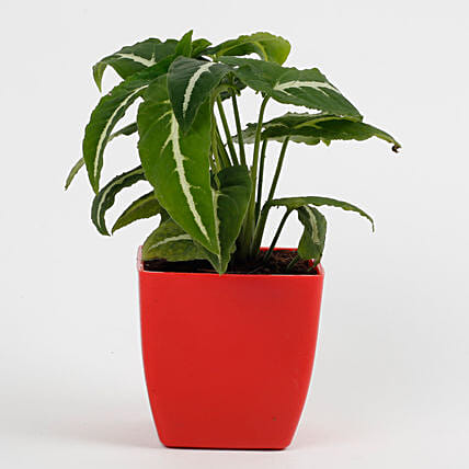 Syngonium Wedlendi Plant in Imported Plastic Red Pot: Outdoor Plants