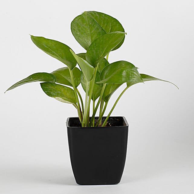 Money Plant in Black Imported Plastic Pot: Foliage Plants