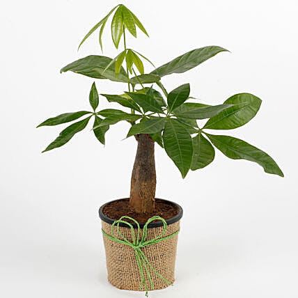 Lucky Pachira Bonsai Plant: Send Plants for House Warming