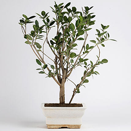 Ficus Panda Plant in White Ceramic Pot: Plants For Terrace and Balcony