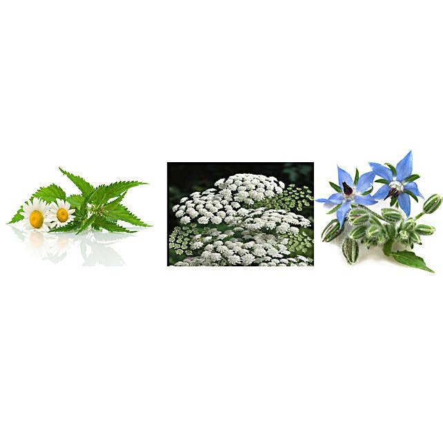 Chamomile Ammi Majus & Borage Seeds Combo: Herbs Seeds