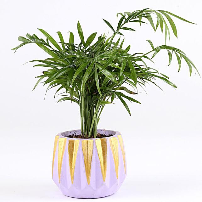 Chamaedorea Plant In Dholki Concrete Pot: