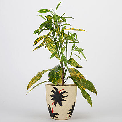 Baby Croton Plant In Ceramic Pot: Exotic Plant Gifts