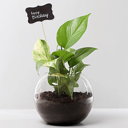 Money Plant Terrarium For Birthday: Potted Plants