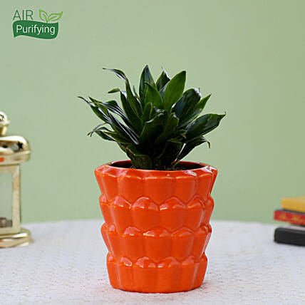 Dracaena Plant In Orange Ceramic Pot: Succulents and Cactus Plants