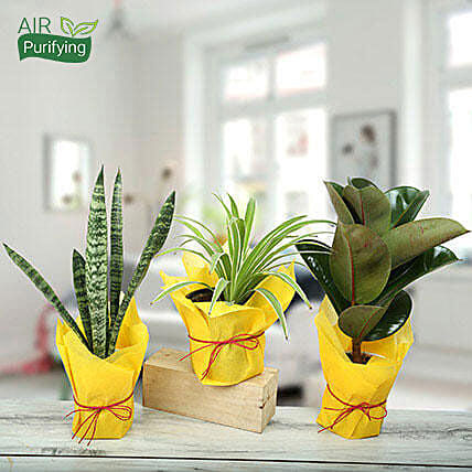 Live Green Trio Plants: Cactus and Succulents Plants
