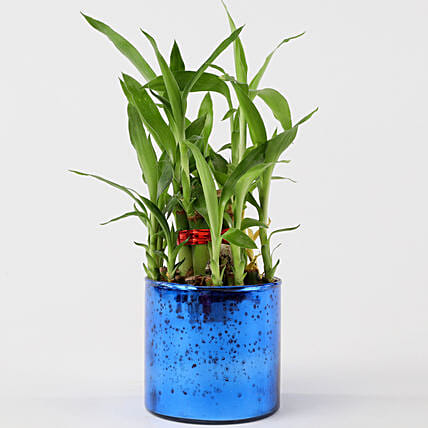 2 Layer Lucky Bamboo In Blue Glass Vase: Bamboo Plants