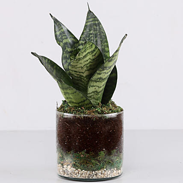 "Snake Plant 4"" Glass Terrarium: Ornamental Plant Gifts"
