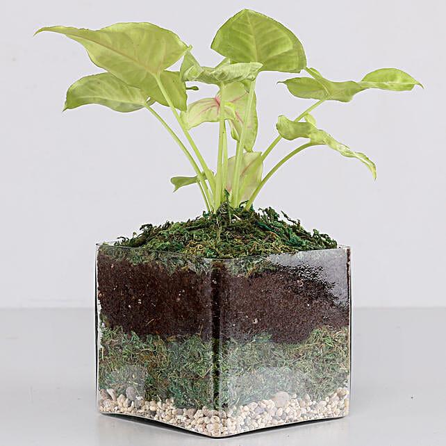 "Syngonium Plant 4"" Glass Terrarium: Terrariums Plants"